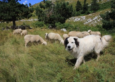 Family Sedmak has a dog to guard the sheep_foto Petra Draškovič Pelc
