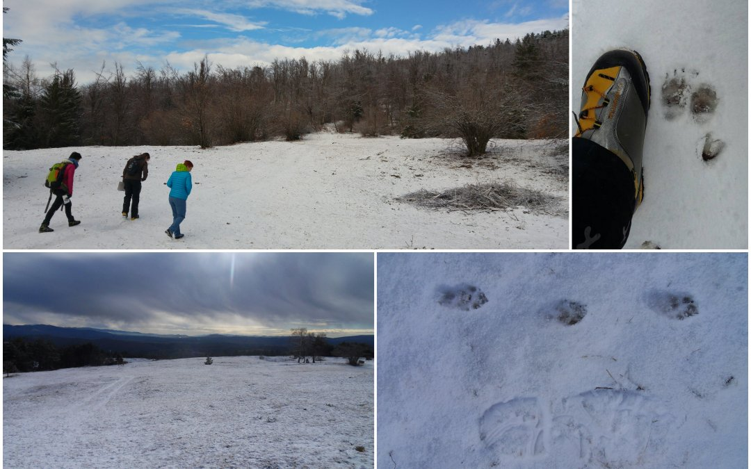 Wolf snow tracking in January