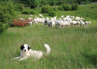 Livestock Guarding Dogs, Discover Dinarics Lynx Art Tour